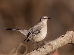 Northern Mockingbird (Lynn Tweedie) Tags: wood beak tail wing canon ngc animal 7dmarkii missouri bird tree northernmockingbird feathers eos eye sigma150600mmf563dgoshsm branch