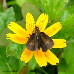Vehilius stictomenes (LPJC) Tags: skipper butterfly panama 2018 lpjc quebradagarza vehiliusstictomenes