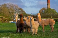 Alpacas (margaretc1946) Tags: alpaca cornwall pentaxk5 sigma18300mmlens