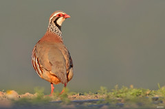 Perdiz comum - Red legged partridge - Alectoris rufa (rio.alva) Tags: portugal peniche ferrel bird birdwatching ave nature natureza nikon200500mmf56eedvr nikond7000