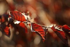 Yesteryear's Leaves (gripspix) Tags: 20190206 iscogöttingen stellagon 128100mm projectionlens projektionsobjektiv selfadapted selbstangepasst beech buche fagussilvatica leaves blätter brown braun dry trocken