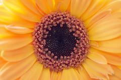Gerbera (heinrich.hehl) Tags: natur flora blume blüte gerbera orange makro macro blossom flower nature