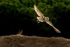 Owl in Flight (Ed Cheremet) Tags: arizona athenecunicularia coba gilariver goodyearaz phonixarizona bird birdinflight birds burrowingowl canon60d owl owlinflight phoenix wildlife