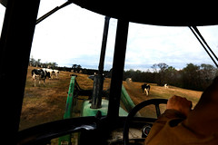 Stewart drives his tractor out in his field to feed his cows.
