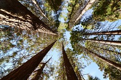 Yosemite trees sky (matthias317) Tags: usaurlaub travel baumkronen wald baum tree usa autumn nature wideangle tokina d7000 nikon wood beautiful sky hiking redzeder yosemite trees nationalpark