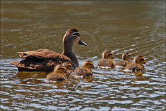Mum and Bubs (alan fear) Tags: pacificblackduck anassuperciliosa ducklings duck