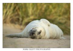Grey Seal Pup (Mark Ollett) Tags: seal nikon norfolk norfolkwildlifetrust norfolkcountryside nikon500vr norwich nature wildlife wildlifephotography asleep cute sealpup greyseal bbc eastanglia