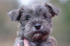 Two (3) (AlmostHome_Dog) Tags: almost home dog rescue north wales puppy puppies pup pups westie yorkie west highland terrier yorkshire