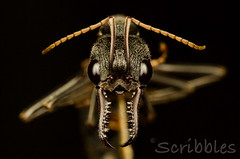 bull ant head shot (shaye_byles) Tags: natural world nature insect bug details cute macrophotography macro extreme closeup close up animal pics photography photograph images wildlife photographer stacking stacked image mpe65mm beautiful cuddly ant