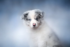 Duch (Alicja Zmysłowska) Tags: red slate merle border collie puppy dog