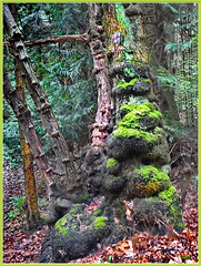 Burls on a Big-leaf Maple Tree (robinb44) Tags: anomaly burlwood burls bigleafmaples moss forests neckpointpark nanaimo bc britishcolumbia canada