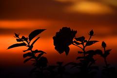 Roses au coucher du soleil Portugal _0408 (ichauvel) Tags: coucherdesoleil sunset rose fleur flower ciel sky orange lumère light exterieur outside soir evening algarve alte portugal europe voyage travelbeautédelanature beautyofnature