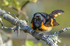 American Redstart (Jim McCree) Tags: setophagaruticilla americanredstart oronomaine may 2018 male