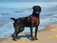Izzy (stumpyheaton) Tags: izzy dog d5100 day beach sea sand black labrador retriever formby 2018 outside october wet irish nikon 18200
