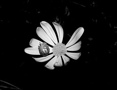 Abriéndose hueco, para tomar el Sol.- Opening it hollow, to take the sun.- (angelalonso57) Tags: canon eos 7d mark ii tamron sp 90mm f28 di vc usd macro11 f004 ƒ100 900 mm 1250 100 flower nature natura black negro blanco white bw bella begoña sw light detalle fotografia angel 2019