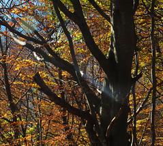 Il tronco in giallo -  The trunk in yellow (Ola55) Tags: ola55 italy umbria montecusso albero bosco tree wood foglie leaves autunno autumn giallo yellow italians worldrekker