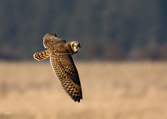 Short-eared Owl II (dennis_plank_nature_photography) Tags: avianphotography shortearedowl birdphotography naturephotography skagit wa avian birds nature