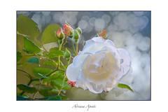 novembre (adrianaaprati) Tags: rose roses november flowering frame autumn light colors green pink white yellow bokeh