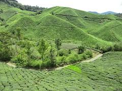 Cameron Highlands, tea plantation (sebd_ch) Tags: cameron highland tea