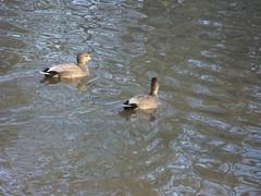 Two gadwall (Nekoglyph) Tags: redcar cleveland lockepark water lake bird nature wildlife autumn reflections brown grey black white gadwall anasstrepera duck