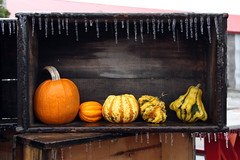 Winter is here ! (asitrac) Tags: 02winter 52 52in2018challenge 60d asitrac americas amériques cak canon color cucurbita etatsunis hiver nature northamerica ohio plant sugarcreek travel usa unitedstates winter cold colors courge eos icicle icicles pumpkin rawcr2 red season squash vegetal yellow ©asitrac eo