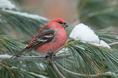 Pine Grosbeak (Earl Reinink) Tags: bird animal winter snow forest trees red grosbeak pinegrosbeak earlreinink todadaidza
