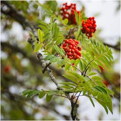 Christmas time ... (miriam ulivi) Tags: miriamulivi nikond7200 nature ramibaccherosse foglieverdi branches redberries greenleaves sorbodegliuccellatori