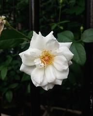 (Ramona Anitsuga) Tags: flor flower fleur bloom blossom spring primavera whiteflower colorsofspring buenosaires argentina recoleta flowerphotography