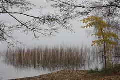 whispering lake (Mindaugas Buivydas) Tags: lietuva lithuania color autumn fall fog mist tree trees lake akmena trakųistorinisnacionalinisparkas trakaihistoricalnationalpark sadnature yellow mindaugasbuivydas november