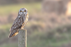 Short-eared Owl (Alex Perry Wildlife Photography) Tags: shortearedowl owl bird birdphotography asio asioflammeus strigidae alexperry alexperryphotography sandwichbay kent ancienthighway wildlifephotography