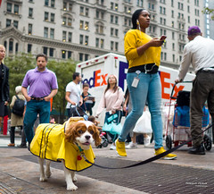 The New Yorkers - Yellow walk (François Escriva) Tags: street streetphotography us usa nyc ny new york people candid olympus omd photo rue sun light man colors sidewalk woman yellow purple violet pet dog vest building black blue