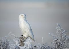 Snowy owl (andrériis) Tags: winter hardfrost snowy owl bird canada saskatchewan canon bokeh