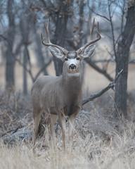 Mule Deer-22 (trdunn) Tags: muledeer colorado weldcounty wildlife animal easternplains nature buck fall antlers trees