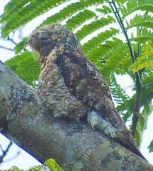 Great Potoo (Malhen227) Tags: birds costarica potoo greatpotoo bird