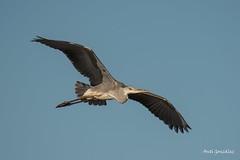 El planeo de la Garza (morlokiano) Tags: fauna animales aves charcas garzareal naturaleza