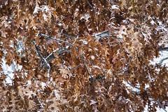Winter Oak And Snowing (Modkuse) Tags: oakleaves oaktree oak winter leaves art artphotography fineartphotography fineart nature natural snow snowing photoart fujifilm fujifilmxt2 xt2 xf55200mmf3548rlmois fujinon fujinonxf55200mmf3548rlmois velvia fujifilmxt2velvia fujifilmxt2velviasimulation