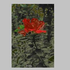 Aldrin_Iglesias_2019_17 (aldrin_iglesias) Tags: rioacimamg brasil brazil flor flower