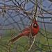 So...This Cardinal Pulls Up