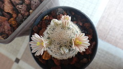 Mammillaria lasiacantha,3 years from seed (armen.cactus) Tags: cactus succulent flowers flower blossom bloom mammillaria seedlings lasiacantha