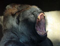 western lowlandgorilla Bokito  Blijdorp 094A0979 (j.a.kok) Tags: gorilla westelijkelaaglandgorilla westernlowlandgorilla lowlandgorilla laaglandgorilla animal africa afrika aap ape mammal monkey mensaap zoogdier dier bokito silverback zilverrug blijdorp