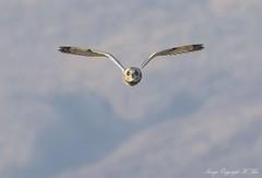 Coming for you.! ( Explored ) (nondesigner59) Tags: asioflammeus shortearedowl flight headon predator wildlife nature hunter owl copyrightmmee eos7dmkii nondesigner nd59