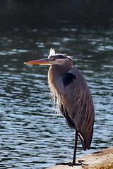 ...a cold december day (Jim Atkins Sr) Tags: greatblueheron ardeaherodias bird waterfowl fairfieldharbour northcarolina olympus olympuspenepm2 lake