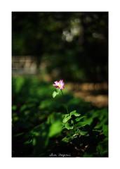 2018/11/17 - 2/18 photo by shin ikegami. - SONY ILCE‑7M2 / Voigtlander NOKTON CLASSIC 40mm f1.4 SC VM (shin ikegami) Tags: flower 花 井の頭公園 吉祥寺 autumn 秋 sony ilce7m2 sonyilce7m2 s7ii 40mm voigtlander nokton nokton40mmf14sc tokyo photo photographer 単焦点 iso800 ndfilter light shadow 自然 nature 玉ボケ bokeh depthoffield naturephotography art photography japan earth asia