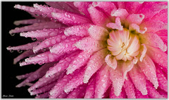 Dahlia Flower (Bear Dale) Tags: dahlia flower water drops ulladulla southcoast new south wales shoalhaven australia beardale lakeconjola fotoworx milton nsw nikond850 photography framed nature nikon d850 nikkor afs micro 105mm f28g ifed vr macro flickr flores fleurs pink petals black background