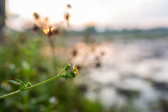 The country side of Thailand (Thanathip Moolvong) Tags: country thailand morning rice paddy field bokeh macro closeup