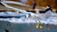 SMOOTH FLIGHT, ACA PHOTO (alexanderrmarkovic) Tags: seagull acaphoto