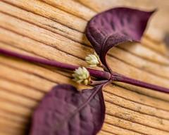 An invitation (risaclics) Tags: looking close friday leaves make me smile60mm macrohojas nikond610 november2018 hojas lookingcloseonfriday