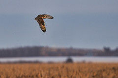 Short-eared owl (Peter Stahl Photography) Tags: shortearedowl owl winter hunting