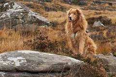 Jessie on Stac Pollaidh (Beth at The Hug) Tags: dog bordercollie goldenretreiver scotland leica 75mm summaritm