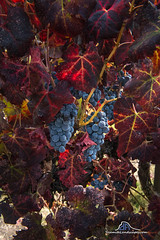 Ice Wine (Darvin Atkeson) Tags: autumn fall color vineyard vine grapes wine ice icewine orchard yosemite nationalpark mariposa sierra nevada mountains california butterfly gold country foothills darv darvin atkeson yosemitelandscapescom lynneal